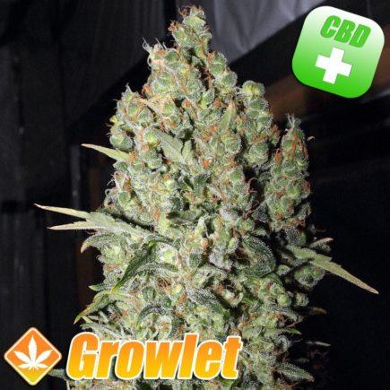 CBD Chronic semillas feminizadas de cannabis