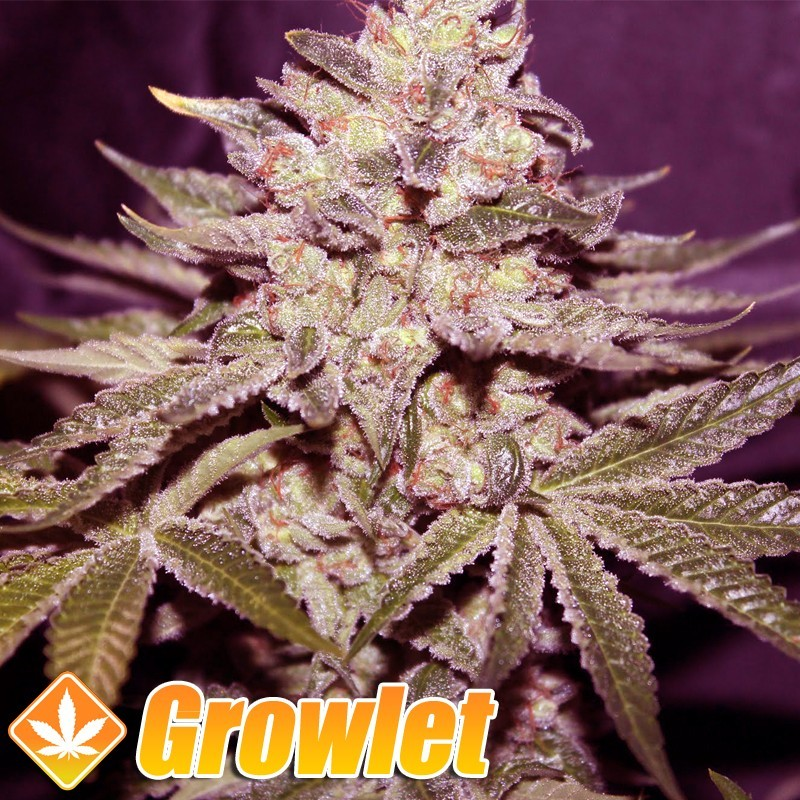 Tangie semillas feminizadas de cannabis