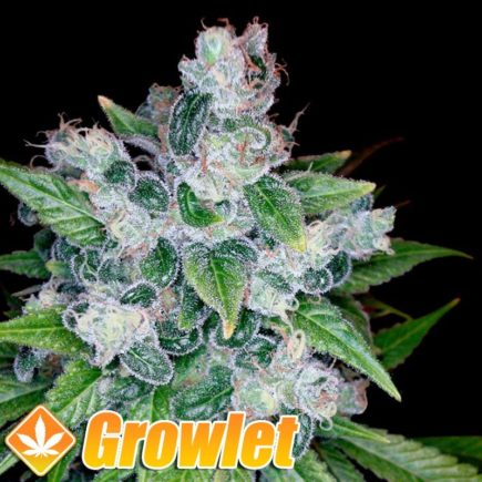 Kandy Kush semillas feminizadas de cannabis