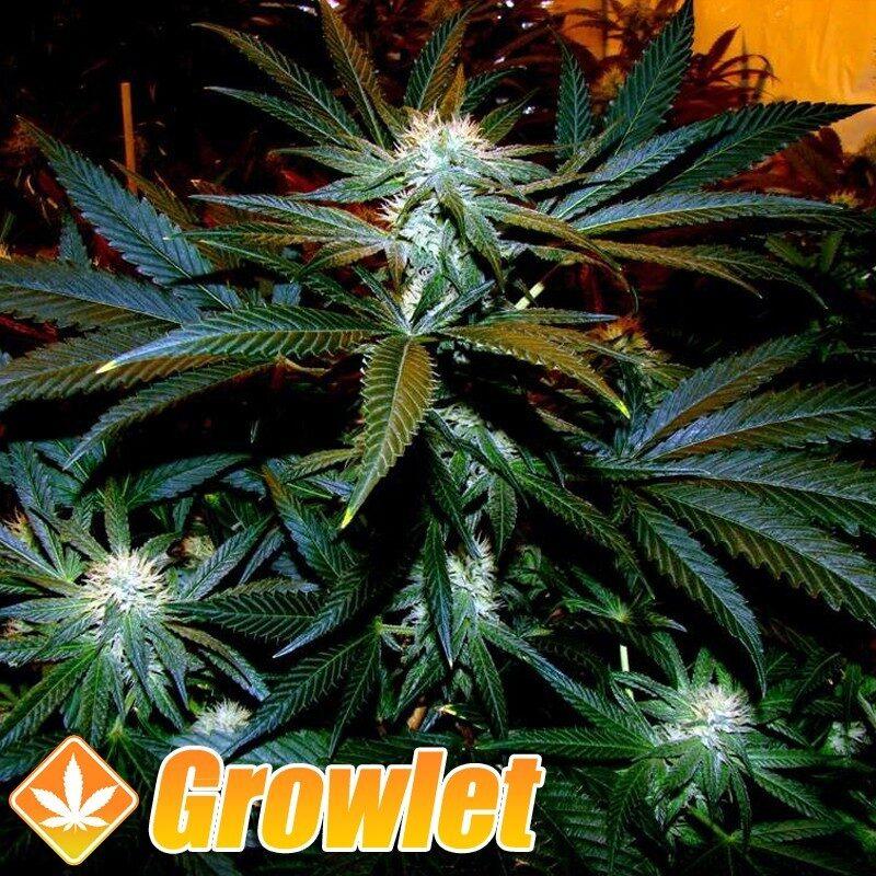 Black Domina semillas feminizadas de cannabis