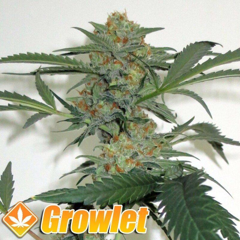 Toxic semillas feminizadas de cannabis