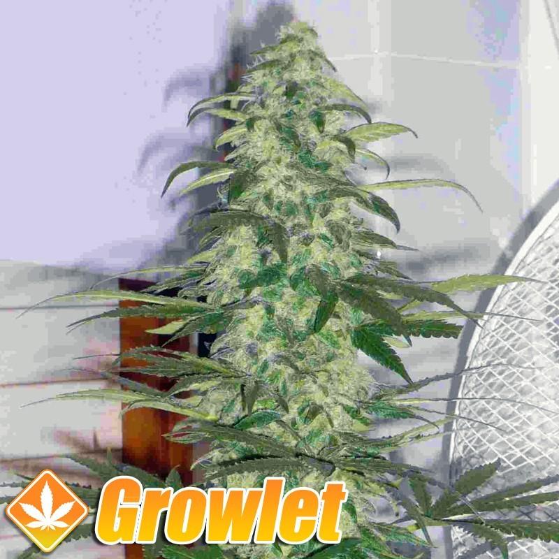 Destroyer semillas feminizadas de cannabis