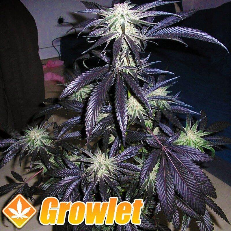 Peyote Purple semillas regulares de cannabis
