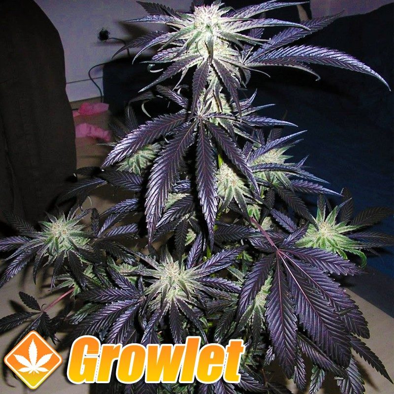 Peyote Purple semillas regulares de cannabis