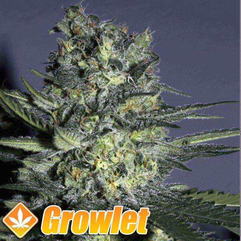 Yumbolt semillas feminizadas de cannabis