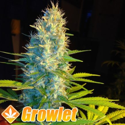 Cheese XL semillas feminizadas de cannabis