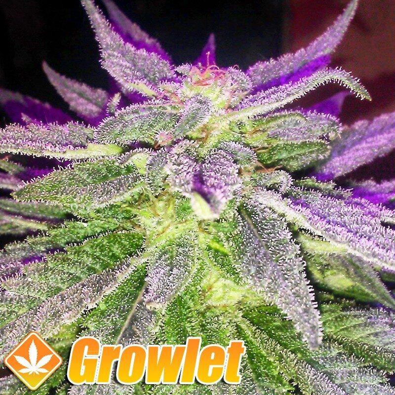 Lavender semillas feminizadas de cannabis
