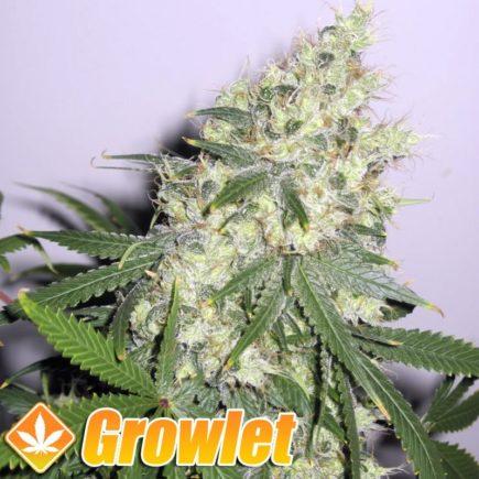 Super SIlver XL semillas feminizadas de cannabis