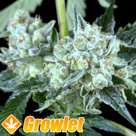 OG Kush x Critical semillas feminizadas de cannabis