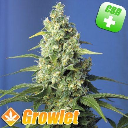 cogollo de cannabis rico en cbd