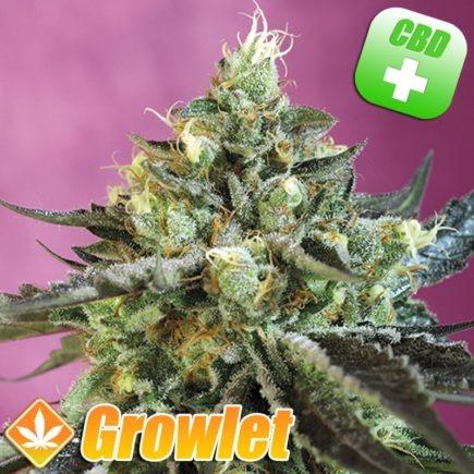 cogollo de cannabis autofloreciente rico en CBD
