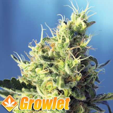 cogollo de sweet pure cbd de sweet seeds