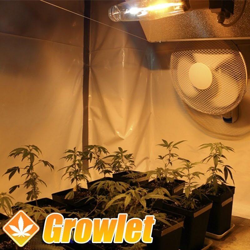 cultivo de interior con ventilador de pared