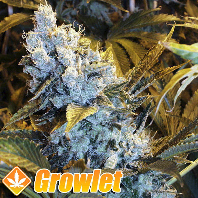 Cogollo de Over Dawg de Medical Seeds