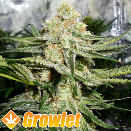 Cogollo de Some Sweet de Medical Seeds