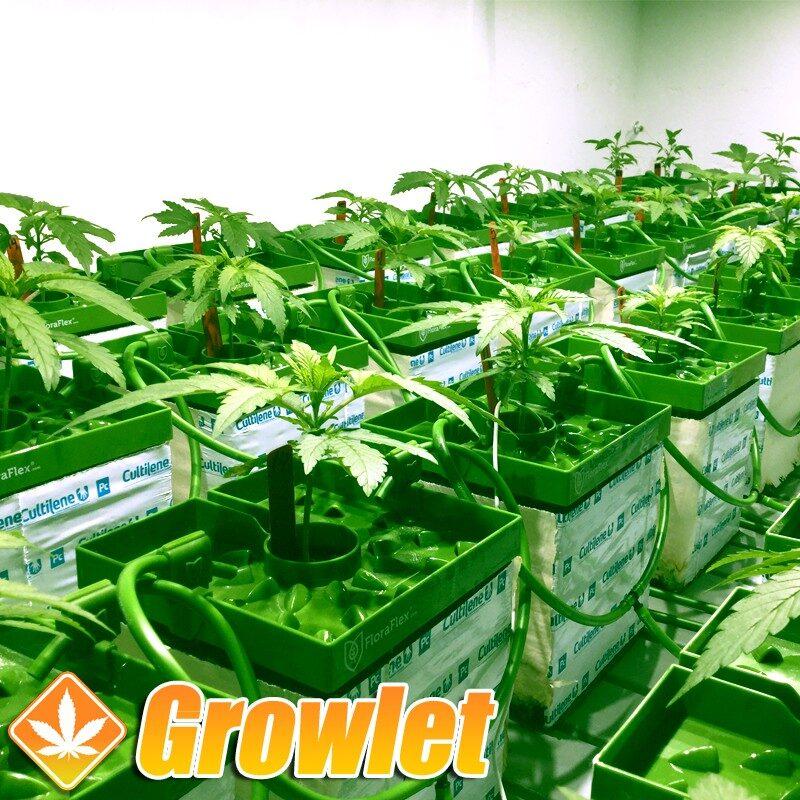 Floracap 2.0 de Floraflex en un cultivo de cannabis con lana de roca