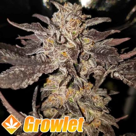 Straw Picanna semillas de cannabis de Oni Seeds Co