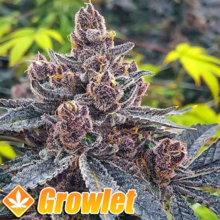 Semillas Tropicanna Punch de Oni Seeds Co