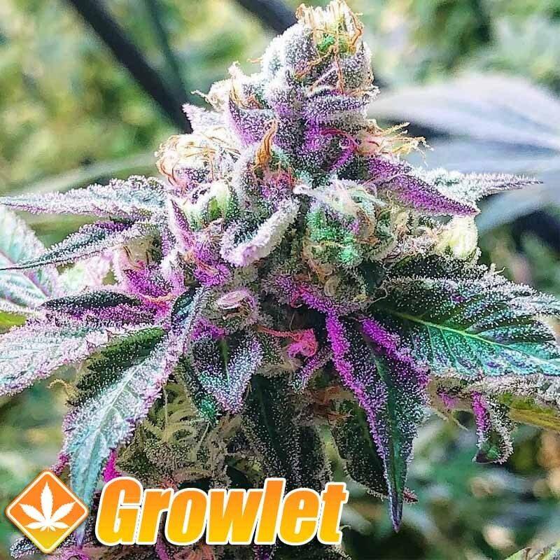 Tropsanto semillas de cannabis regulares de Oni Seed Co