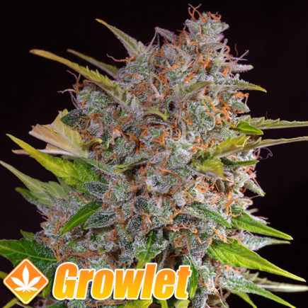 Semillas autoflorecientes de Cream Mandarine XL Auto de Sweet Seeds