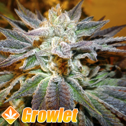 Semillas feminizadas Canadian Kush de Medical Seeds