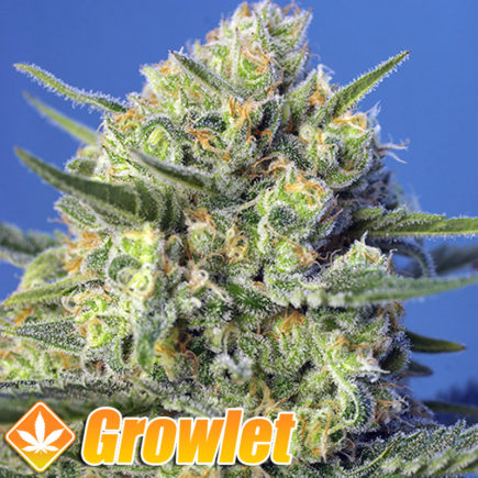 Semillas feminizadas Crystal Candy Fast Version de Sweet Seeds