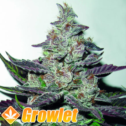 Semillas feminizadas Mendocino Purple Kush de Medical Seeds