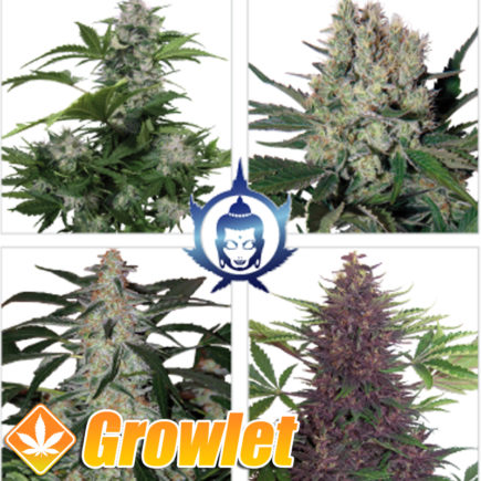 Semillas autoflorecientes Assorted de Buddha Seeds