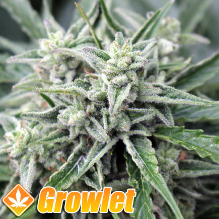 Semillas autoflorecientes Auto NL de Female Seeds