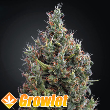 Semillas autoflorecientes Big Bang Auto de Greenhouse Seeds