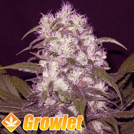 Semillas feminizadas de Critical Sour de Female Seeds