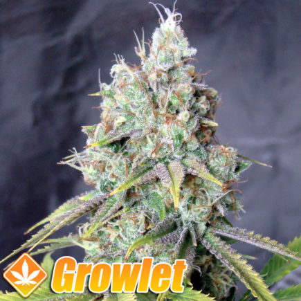 Semillas feminizadas Golden Berry de DNA Genetics