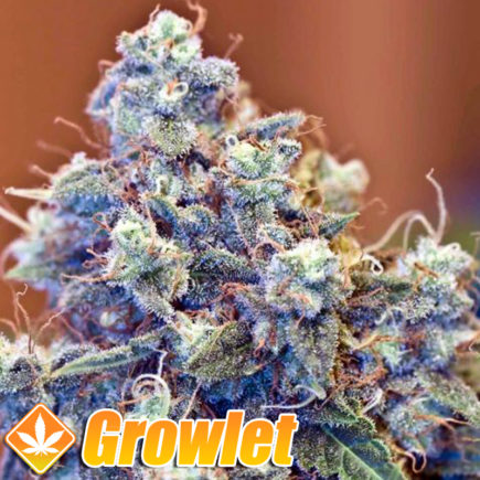 Semillas feminizadas Iced Grapefruit de Female Seeds