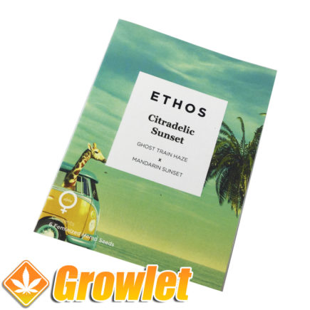 Feminized seeds Citradelic Sunset by Ethos Genetics