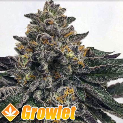 Semillas de marihuana Sour Apricot de Compound Genetics