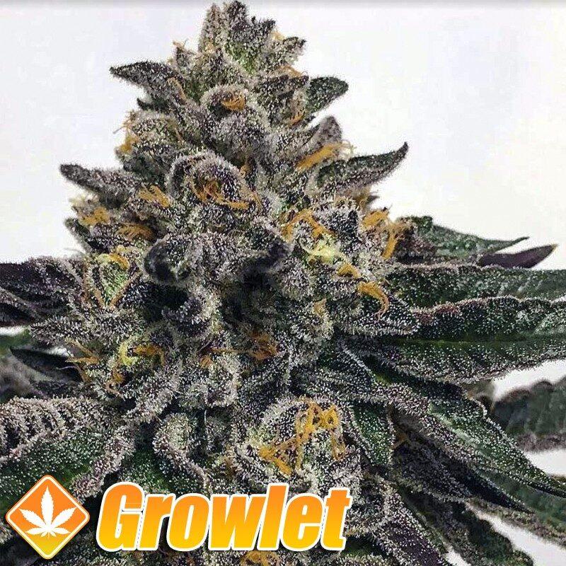 Semillas de marihuana Sour Apricot de Compound Genetics