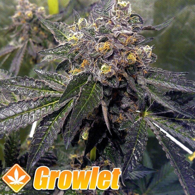 Semilas de marihuana Sticky Sherbert de Dank Genetics