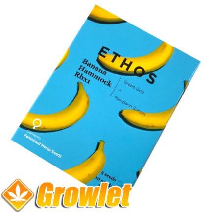 Banana Hammock R1 de Ethos Genetics