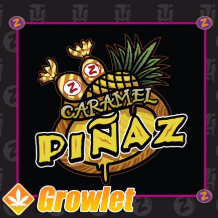 Semillas de marihuana Caramel Piñaz de Plantinum Seeds - Terp Hogz