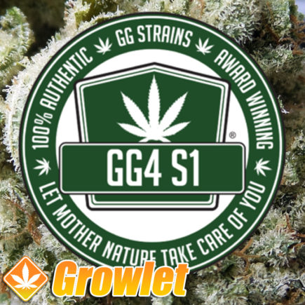 Original Glue GG4