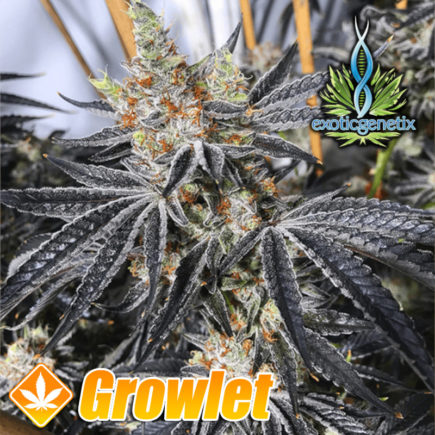 Grease Monkey de Exotic Genetix