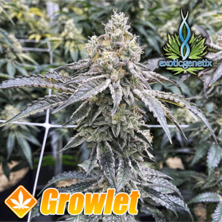 Milk Monkey de Exotic Genetix