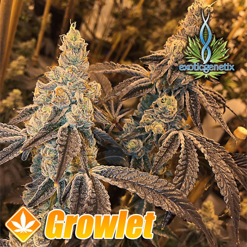 Peanut Butter N' Chocolate de Exotic Genetix