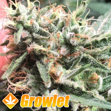 Strawberry Diesel Cookies de Oni Seeds
