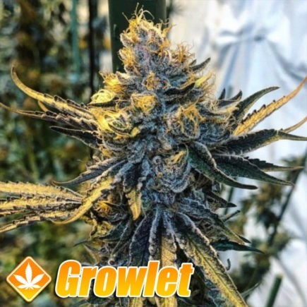 Tropicanna Punch BX1 de Oni Seeds
