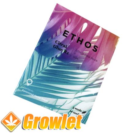 Citral Glue R1 semillas feminizadas de cannabis