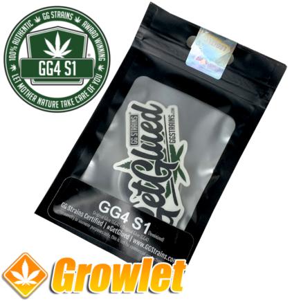 GG4 S1 de GG Strains