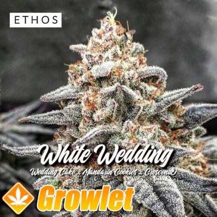 White Wedding de Ethos Genetics