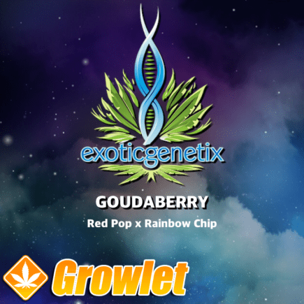 Goudaberry de Exotic Genetix