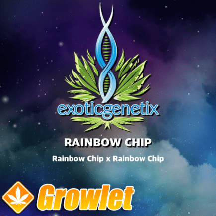 Rainbow Chip F2 de Exotic Genetix